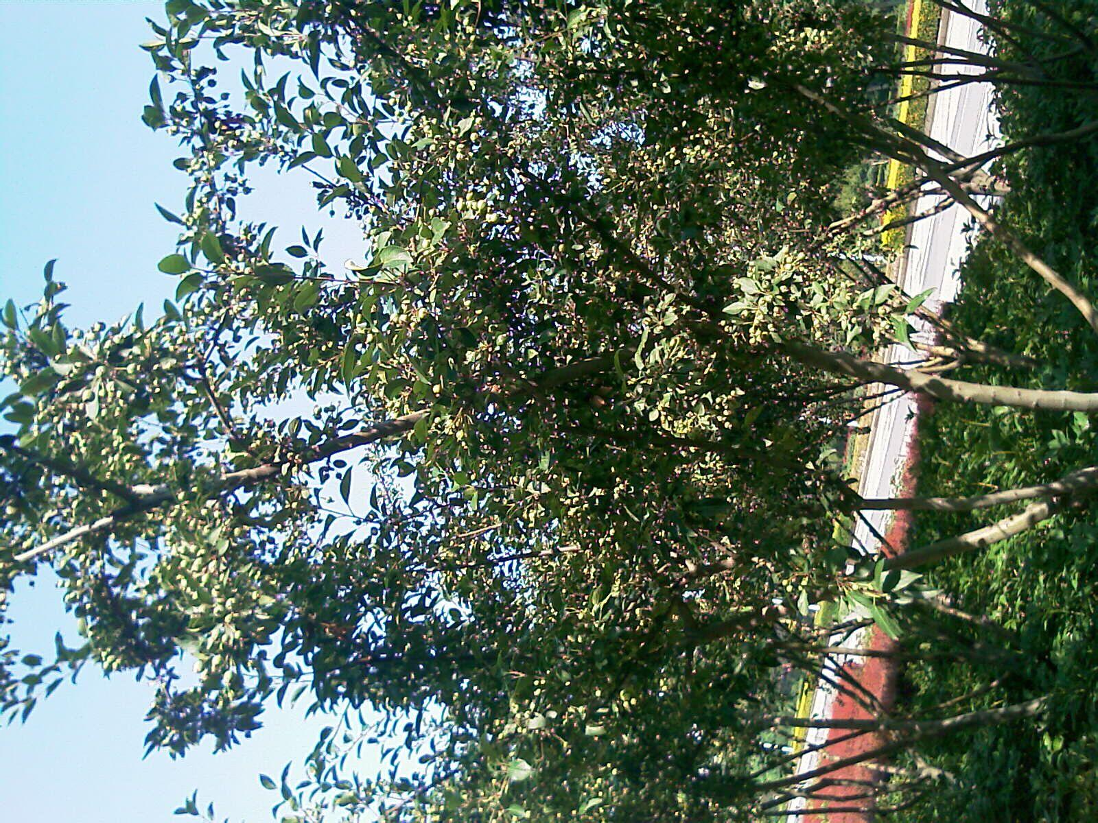 什么的树木_一下这些树木是什么名称?结的果实能食用吗?_百度知道