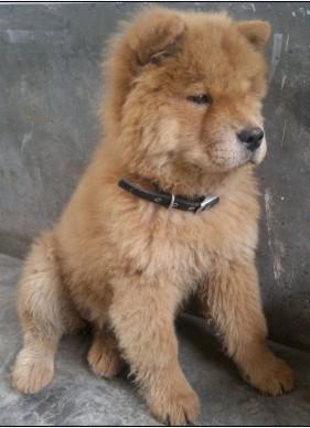 松狮犬怎么看纯种_关于小狗松狮犬 为什么和网上的不一样_百度知道