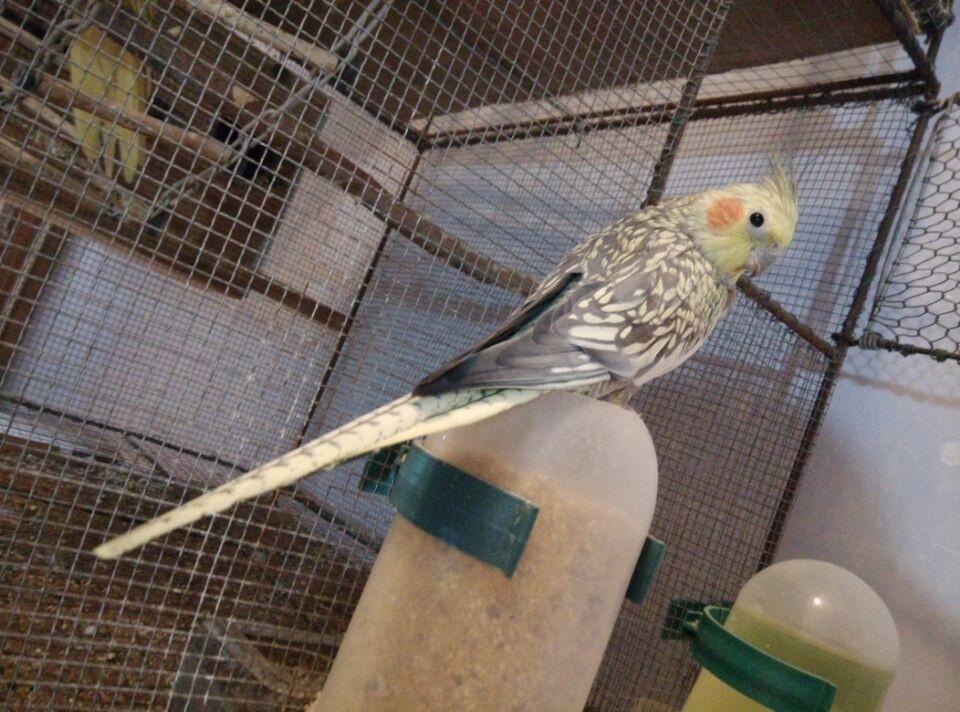 黄化玄凤鹦鹉分公母_珍珠玄凤鹦鹉怎么分公的还是母的?_百度知道