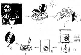 2013 滨湖区模拟 下面是探究 绿叶在光下制造淀粉 的实验操作过程示意图,请据图分析回答 1 图A