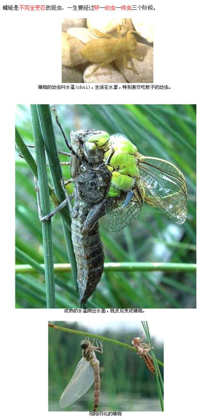 蜻蜓姬的大�_蜻蜓的图片(从小到大的)
