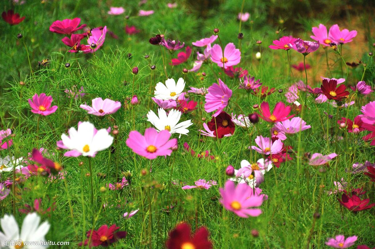 格桑花种子_这是什么花?想要买种子做一下绿化,可不知道这种花叫什么,谢谢!