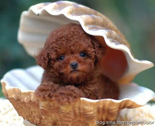 给泰迪狗狗起个洋气点的英文名'