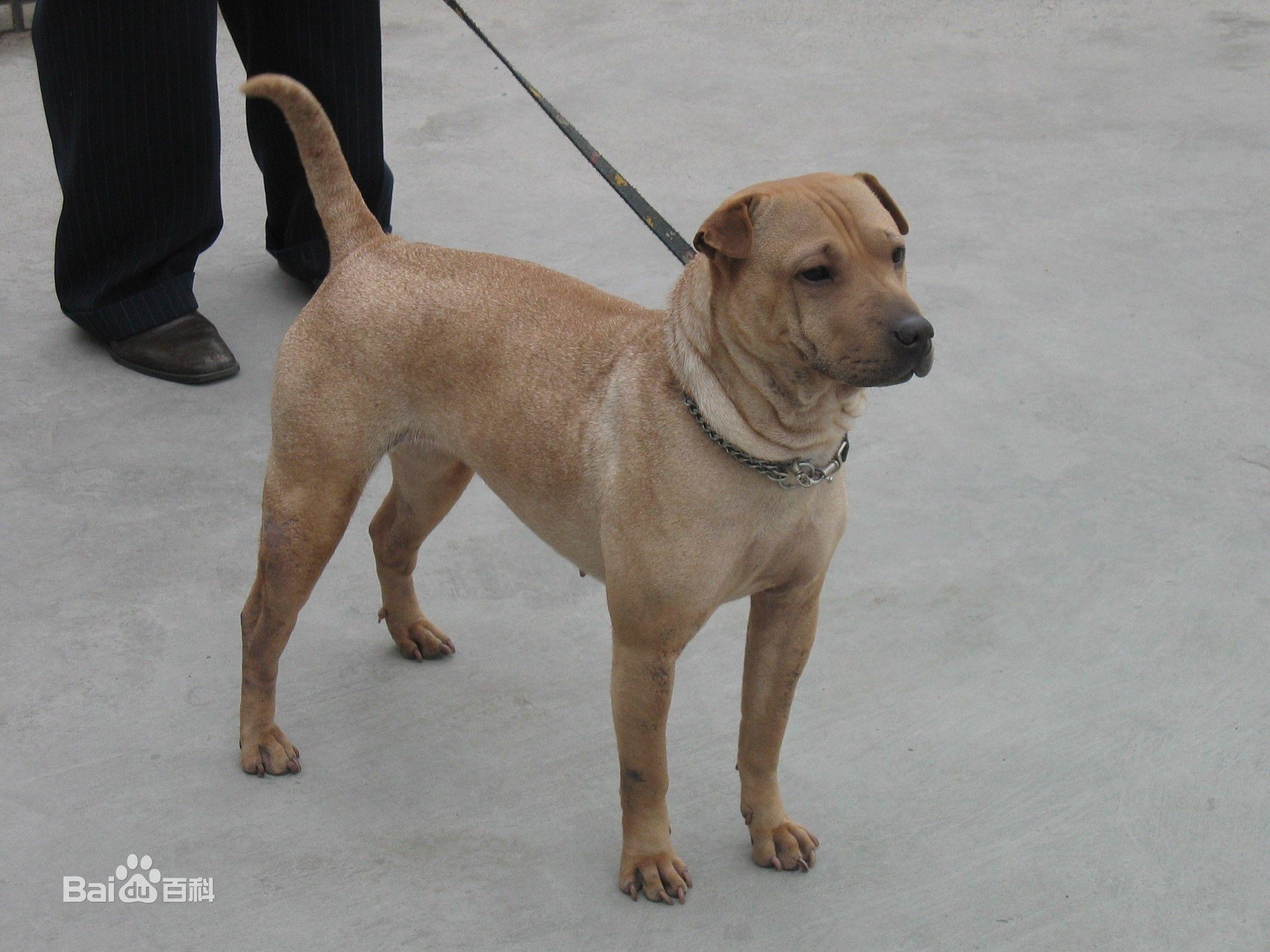 沙皮狗能看家吗_谁能看出这只狗狗是什么品种?是大型犬吗??_百度知道