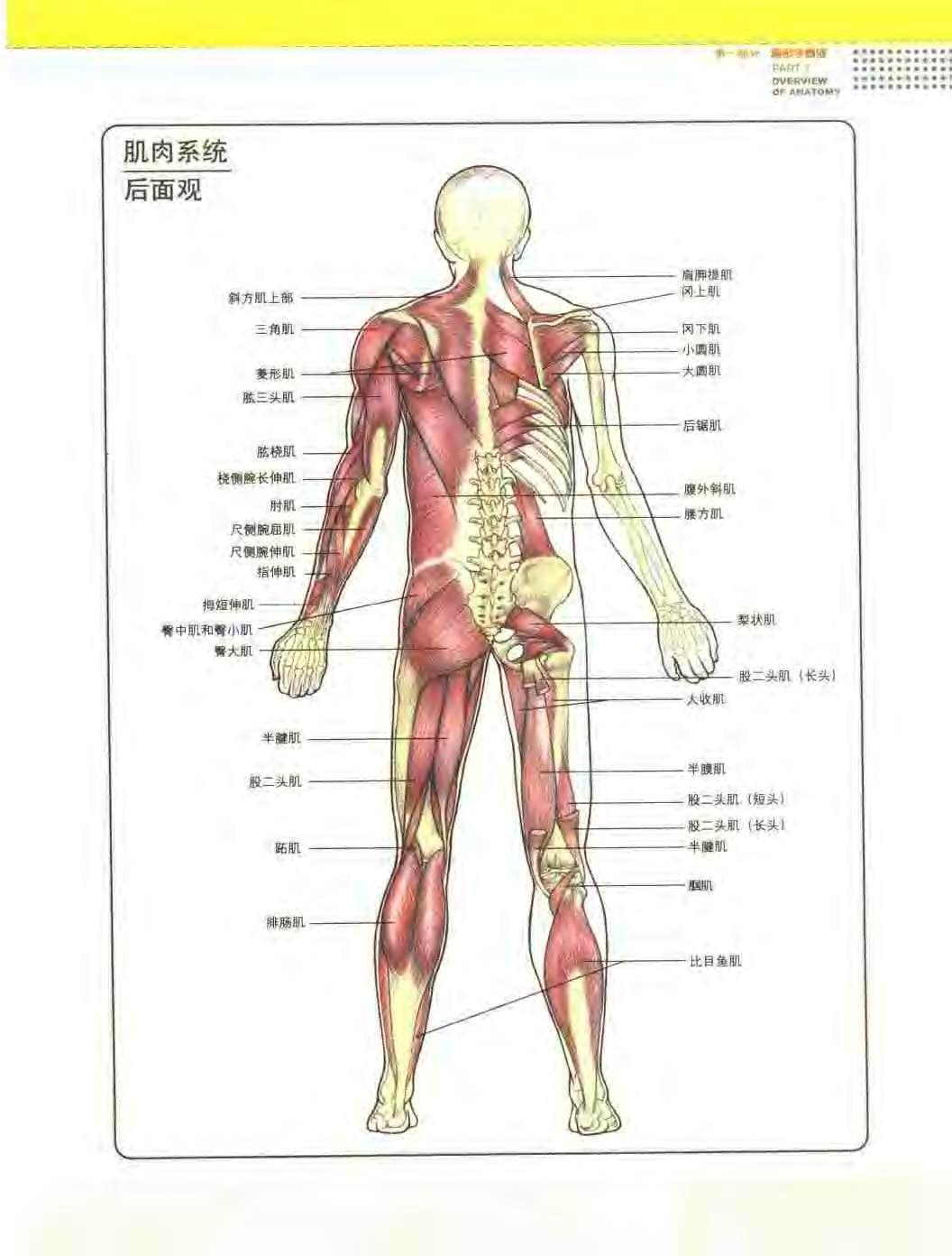 人体肌肉_求:人体肌肉分布图 高清带文字