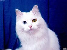 白毛蓝眼睛的猫_有一只全身雪白,眼睛蓝色的猫是什么品种呢,短毛的,就是 ...