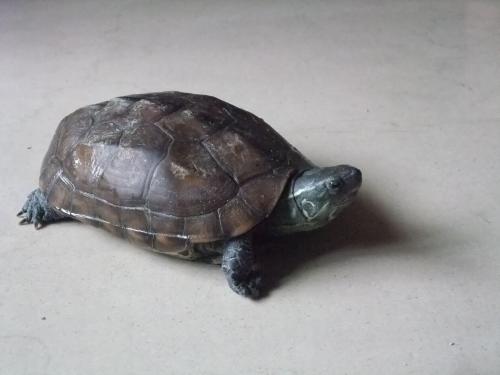 小乌龟冬眠了怎么办_乌龟脚上的皮腐烂了怎么办_百度知道