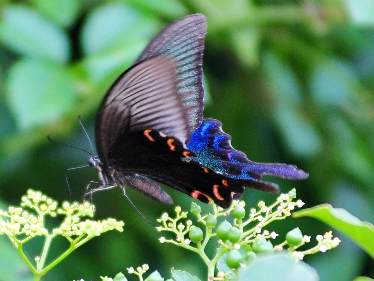 漂亮_看到像孔雀羽毛一样漂亮的蝴蝶 不知叫什么蝴蝶?