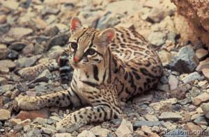 亚洲豹猫_谁知到豹猫