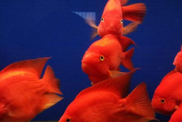 红鹦鹉和招财鱼打架