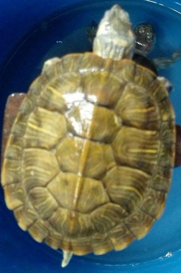 小乌龟浮在水面_乌龟不断脱皮,皮上长了一些疮点,还倾浮在水面,请问是什么 ...