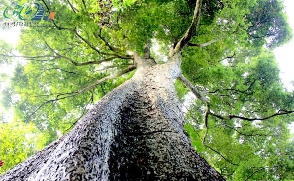 金丝楠木树高清图片_金丝楠木是什么树图片 - 百度_百度知道