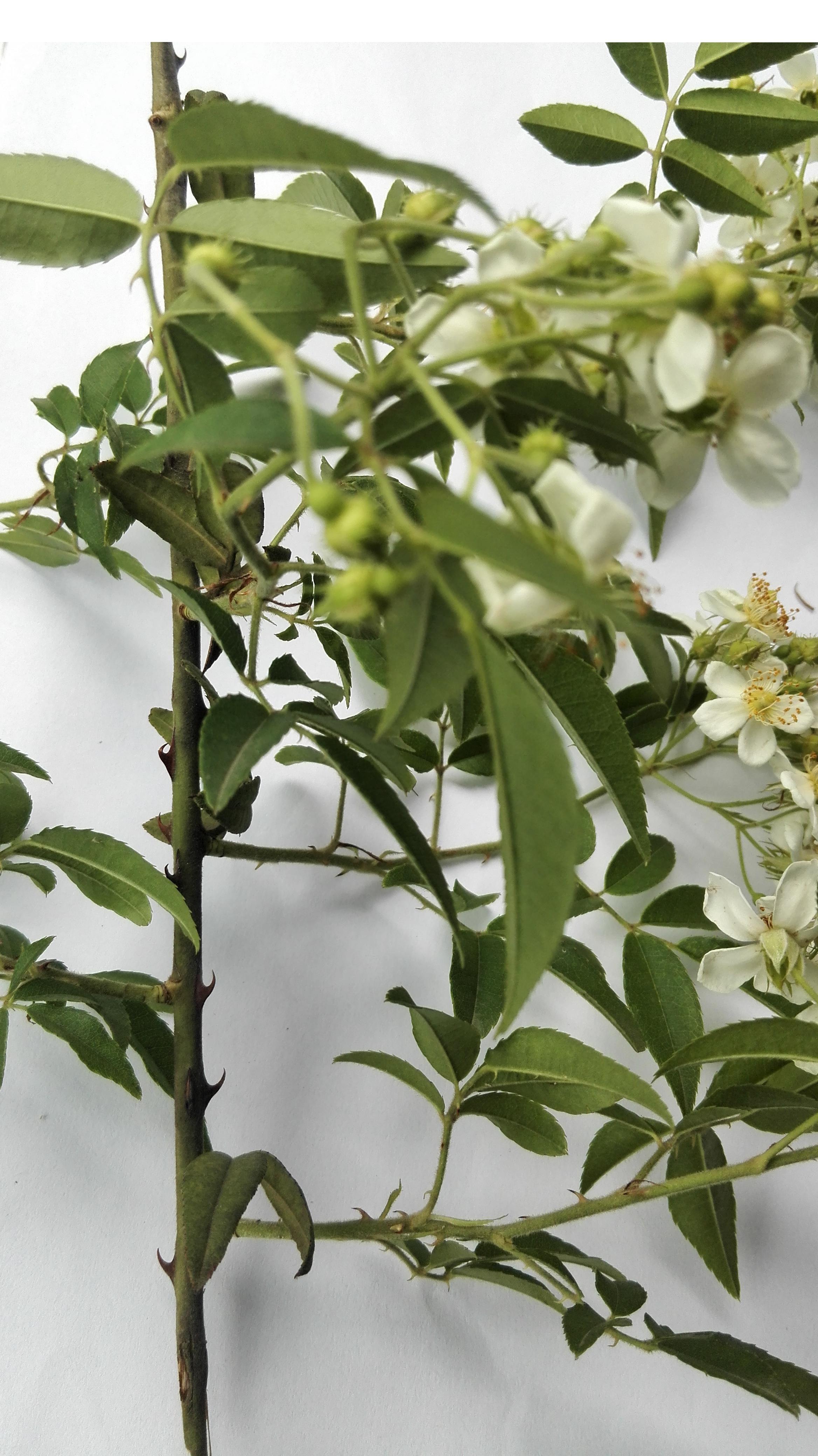 滕本植物有刺开五瓣小白花,是什么树?_突袭网