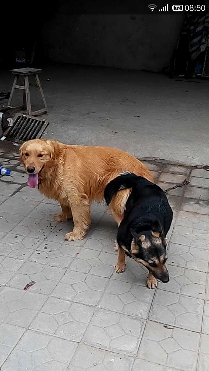 人与狗做爱网址_这两种狗狗交配之后生什么狗
