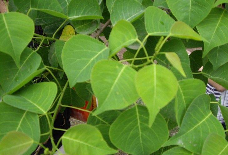 少妇桕男性性交�_别名:腊子树,桕子树,木子树,乌桖,桊子树,桕树,木蜡树,木油树,木
