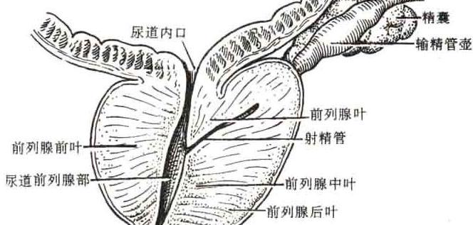 前列腺的位置在哪里_前列腺是哪个部位_百度知道