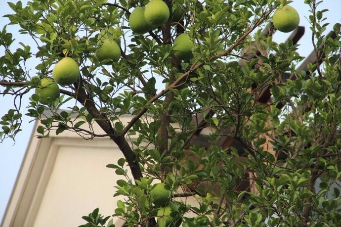 梦到树上结柚子果实