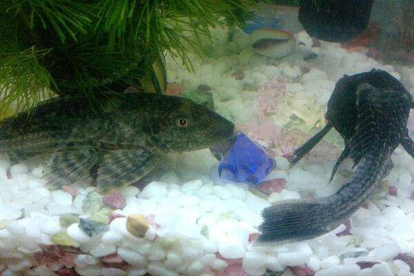 清理鱼缸的鱼种类_鱼缸底部有许多观赏石头石子,如何清理鱼缸底部粪便_百度知道