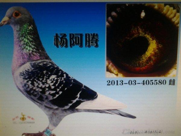 师们,哪个品系信鸽眼睛和杨阿腾的古铜黄眼一样