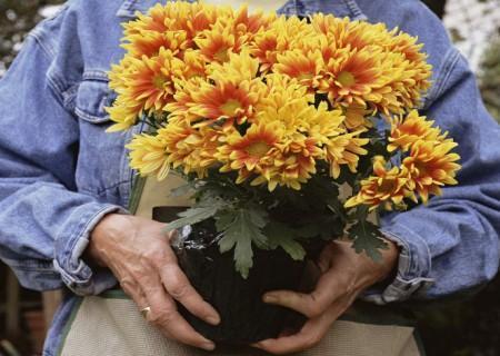 怎样让盆栽菊花矮化?