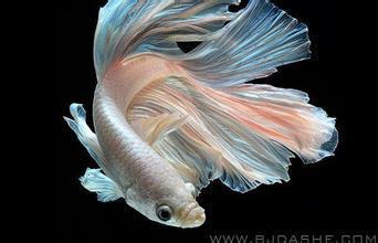 世界上最漂亮的美人鱼图片_世界上最美的鱼图片_百度知道