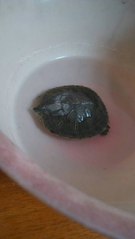巴西龟冬眠时可以用布来代替沙子覆盖在她身上吗