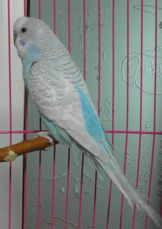 天空蓝灰翅图片_虎皮鹦鹉的颜色怎么分,小弟我搞不懂,什么原始绿蛋白什么 ...