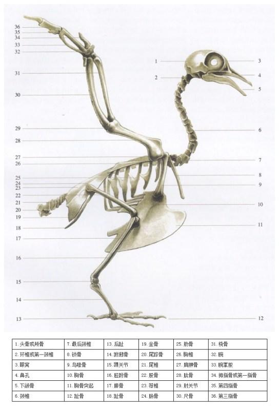 怎样区分信鸽龙骨的高与低?