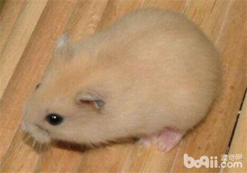 如何布置仓鼠的饲养环境?