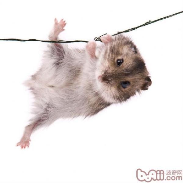 养仓鼠必知的知识有哪些?
