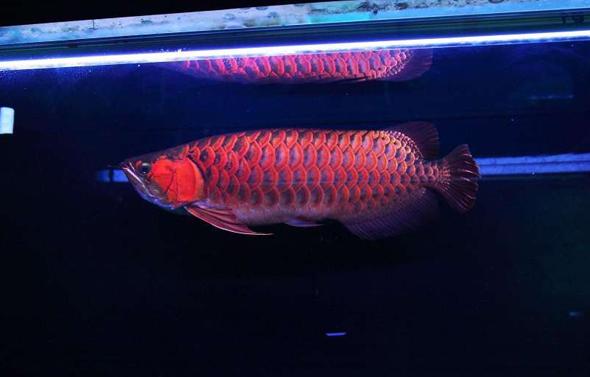 希望龙鱼能为本人和家庭带来好运 水族资讯 南昌水族馆第1张