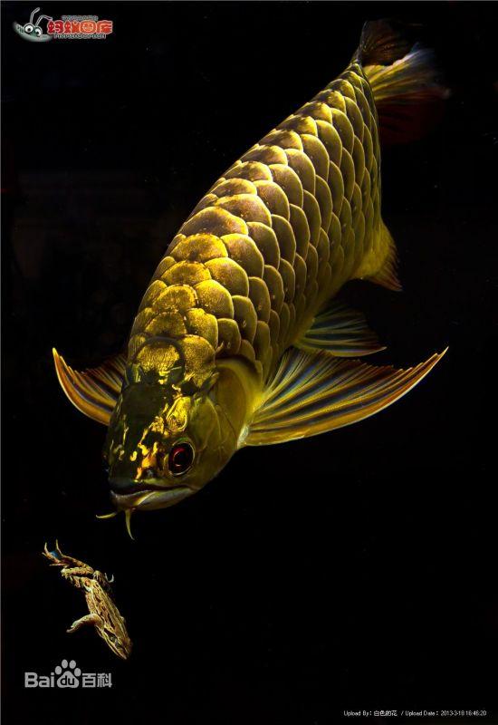 野生的龙鱼生长在哪里