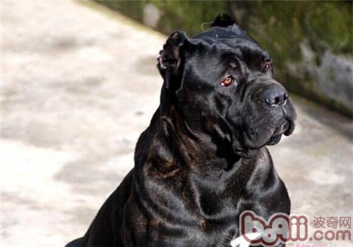 卡斯罗犬的饲养要点有哪些?