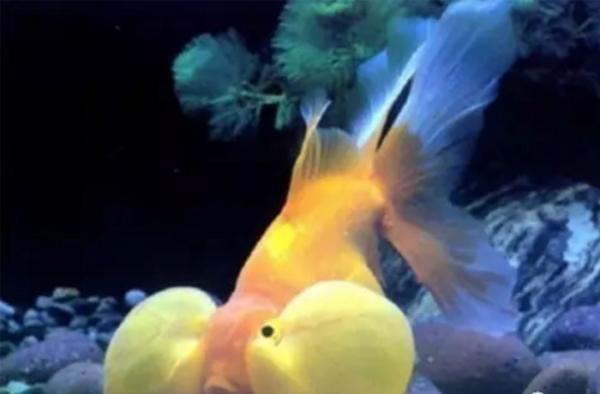 名贵金鱼排名是怎样的?最贵的价值价值多少?