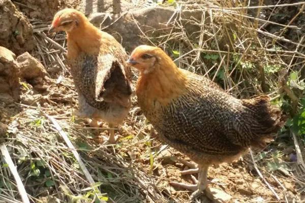 山林地放养土鸡,为什么鸡活动的地方光秃秃的?