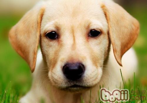 拉布拉多犬喜欢主人怎样对它?