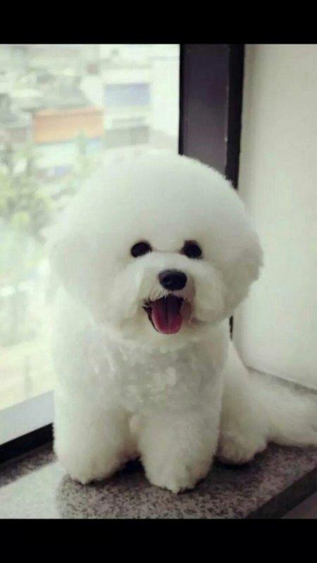 吴世勋 vivi_吴世勋养的是什么狗,是比熊吗?有图片吗_百度知道