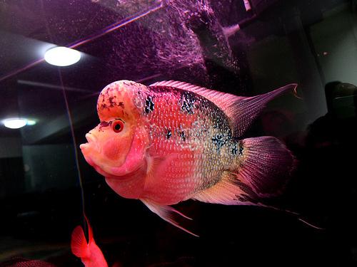 泰金乌鲁木齐华凌鱼缸专卖罗汉鱼如何能起头快起色快