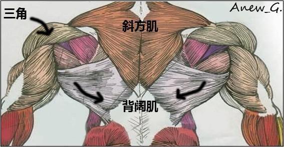 斜方肌_斜方肌是不是就是三角肌?_百度知道