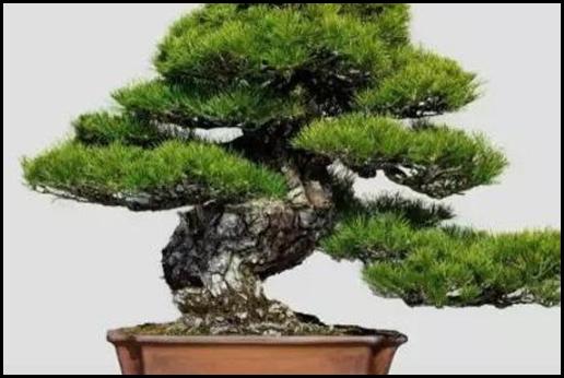 十大盆景名贵树种排名是怎样的?