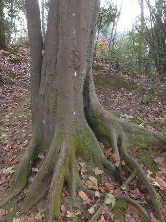 金丝楠木树高清图片_金丝楠木树杆和叶子图片_百度知道