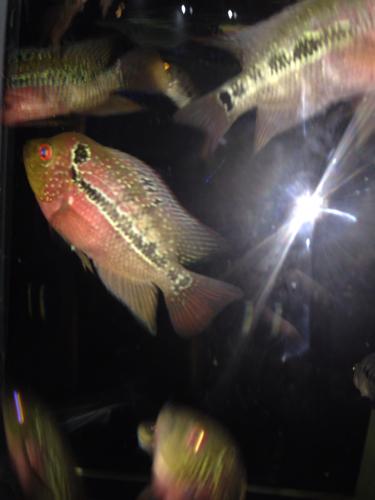 花罗汉鱼怎么分公母图片