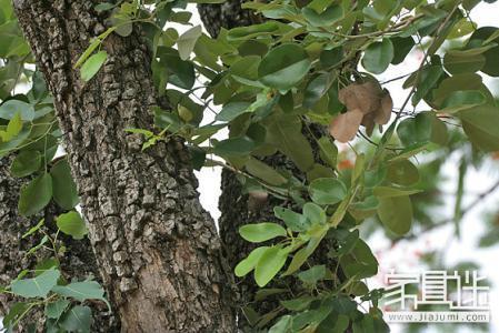 紫檀树_小叶紫檀树详细资料和清晰图片_百度知道