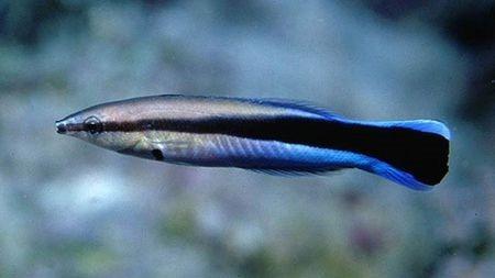 有一种鱼,能给其他鱼清洁卫生,还能让它们变聪明