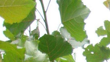 杨树研究表明:树木可以通过基因工程进行扩散