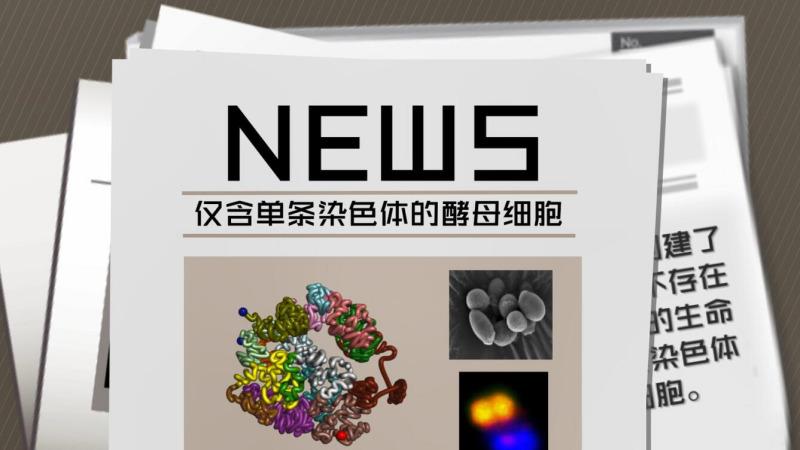 人造生命里程碑式突破!国际首例单染色体真核生物在中国诞生!