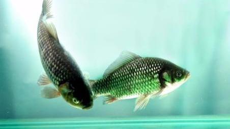 淡水鱼别生吃!因为更容易携带寄生虫吗?的头图