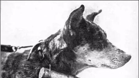 在人类战争舞台上,狗是个狠角色!的头图