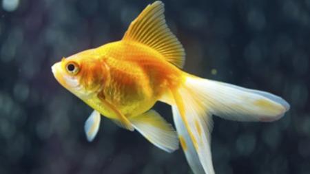 金鱼的记忆只有7秒?你也太小看金鱼了